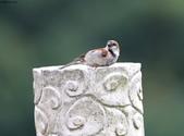 台南關子嶺的山麻雀親鳥育雛:074A3584.JPG