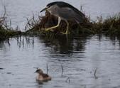 清晨鰲鼓濕地的鳥類:074A5879夜鷺.JPG