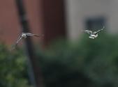 復旦大埤塘周遭的鳥兒:N74A2993黑領椋鳥比翼雙飛.jpg