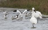 鰲鼓的候鳥與水鳥:074A7965反嘴鴴與黑琵.jpg