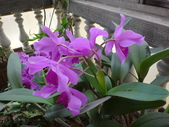 老父遺愛-嘉德麗雅蘭十月開花:DSC01055.JPG