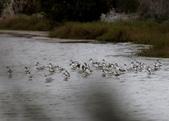 鰲鼓的候鳥與水鳥:074A7978.JPG