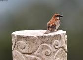 台南關子嶺的山麻雀親鳥育雛:074A3677.JPG