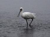 清晨鰲鼓濕地的鳥類:074A5849.JPG