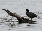 鰲鼓的候鳥與水鳥:074A7871白冠水雞.jpg