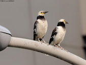 南港鳥兒:074A2397.JPG