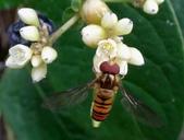 細扁食蚜蠅取食火炭母草花蜜:DSC09179雄蠅兩個複眼密合.jpg