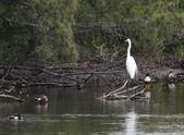 鰲鼓的候鳥與水鳥:074A7873a.jpg