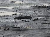 台南沿海生態、鹽田風光與落日:074A4473大小彈塗魚.jpg