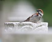 台南關子嶺的山麻雀親鳥育雛:074A3611.JPG