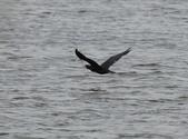 鰲鼓的候鳥與水鳥:074A7917鸕鶿.JPG