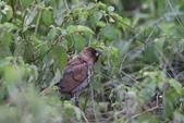 復旦-新天母公園的鳥兒:N74A3669.JPG