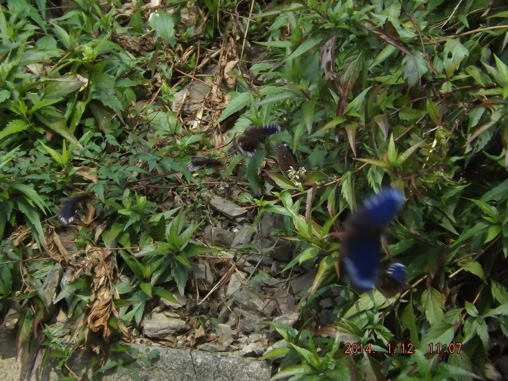 茂林紫斑蝶:DSCF5454.JPG