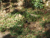 茂林紫斑蝶:DSCF5389.JPG