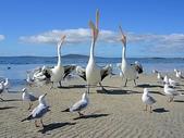 未分類相簿:Beggars, Pelicans and Seagulls