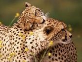 未分類相簿:Affectionate Cheetahs
