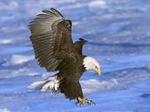 未分類相簿:Bald Eagle in Flight, Alaska