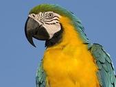 未分類相簿:Blue and Yellow Macaw, South America