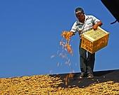 花蓮六十石山、赤科山--賞金針忘憂鬱:2008-08-17_09-41-02_曬黃花.jpg