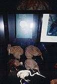 紐西蘭遊記3-前進Wellington:Kiwi Bird-Te Papa Museum