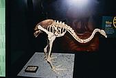 紐西蘭遊記3-前進Wellington:巨鳥標本