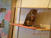 貓花園--天生優雅:眼神長ㄉ有點凶凶ㄉ貓貓
