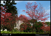 中正紀念堂之櫻:IMG_4379.jpg