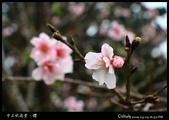 中正紀念堂之櫻:IMG_4417.jpg