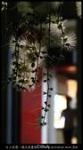 台大校園。夜的穗花棋盤腳:IMG_2469.jpg