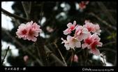 中正紀念堂之櫻:IMG_4422.jpg