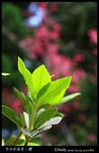 中正紀念堂之櫻:IMG_4375.jpg