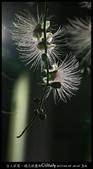 台大校園。夜的穗花棋盤腳:IMG_2462.jpg