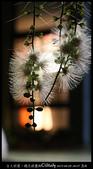 台大校園。夜的穗花棋盤腳:IMG_2465.jpg
