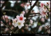 中正紀念堂之櫻:IMG_4411.jpg