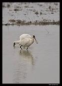 2007宜蘭黑面琵鷺:RIC_0975.jpg