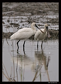 2007宜蘭黑面琵鷺:RIC_0938.jpg
