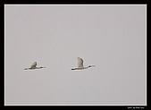 2007宜蘭黑面琵鷺:RIC_1016.jpg