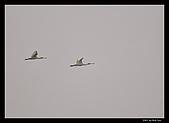 2007宜蘭黑面琵鷺:RIC_1020.jpg