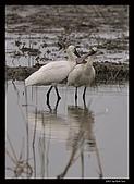 2007宜蘭黑面琵鷺:RIC_0940.jpg