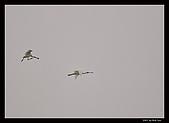 2007宜蘭黑面琵鷺:RIC_1024.jpg