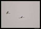 2007宜蘭黑面琵鷺:RIC_1026.jpg