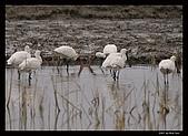 2007宜蘭黑面琵鷺:RIC_0947.jpg