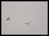 2007宜蘭黑面琵鷺:RIC_1028.jpg