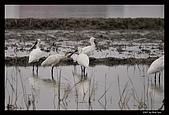 2007宜蘭黑面琵鷺:RIC_0925.jpg