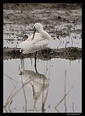 2007宜蘭黑面琵鷺:RIC_0951.jpg