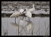 2007宜蘭黑面琵鷺:RIC_0927.jpg