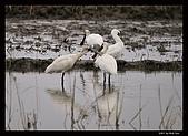 2007宜蘭黑面琵鷺:RIC_0929.jpg
