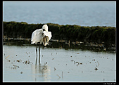 2007宜蘭黑面琵鷺:RIC_3348.jpg