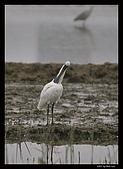 2007宜蘭黑面琵鷺:RIC_0969.jpg
