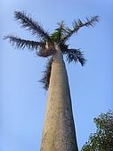 植物 專輯 花蓮旅遊服務網推薦:大椰子 花蓮旅遊服務網推薦_1.jpg